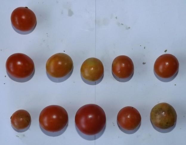 2020/09/06(日)・畑のミニトマト・11個収穫