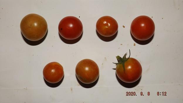 2020/09/08(火)・畑のミニトマト・7個収穫