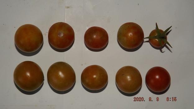 2020/09/09(水)・畑のミニトマト・10個収穫