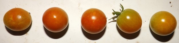2020/09/10(木)・畑のミニトマト・5個収穫