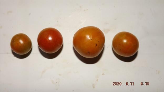 2020/09/11(金)・畑のミニトマト・4個収穫