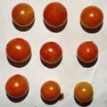 2020/09/12(土)・畑のミニトマト・9個収穫