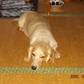 Photos: 2020/09/14(月)・畳の上で退屈そうに伏せを。。。。