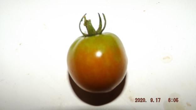 2020/09/17(木)・畑のミニトマト・1個収穫