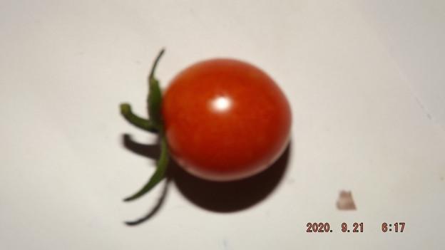Photos: 2020/09/21(月・祝)・畑のミニトマト・1個収穫