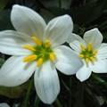 2020/09/21(月・祝)・玄関先の白い花・2