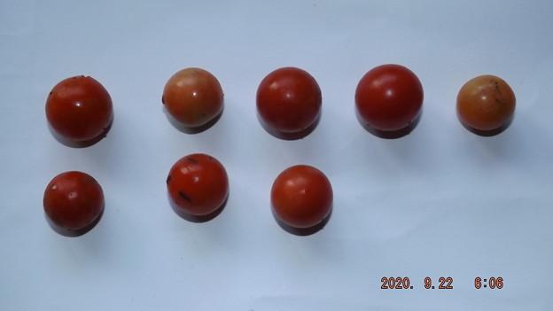 2020/09/22(火・祝)・畑のミニトマト・8個収穫