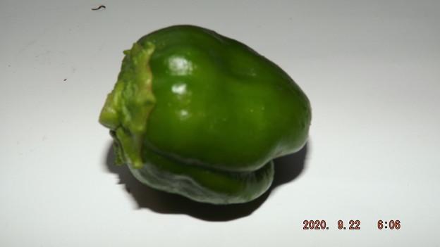 2020/09/22(火・祝)・畑のピーマン・1個収穫