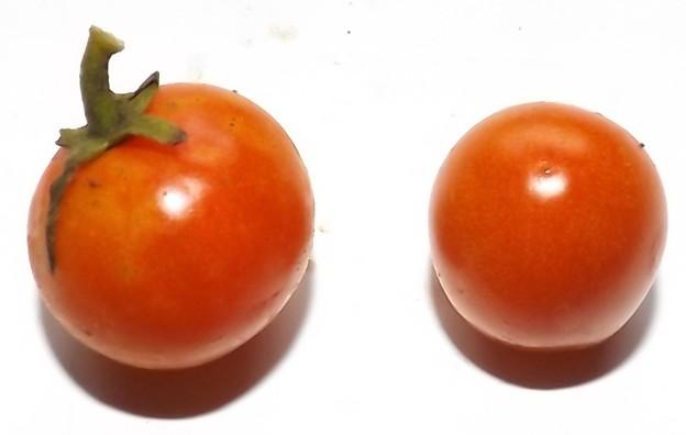 Photos: 2020/09/23(水)・畑のミニトマト・2個収穫