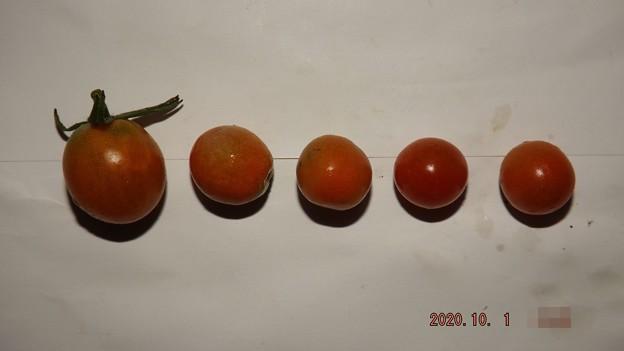 2020/10/01(木)・畑のミニトマト・5個収穫