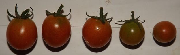 2020/10/04(日)・畑のミニトマト・5個収穫
