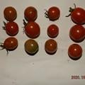 2020/10/05(月)・畑のミニトマト・16個収穫
