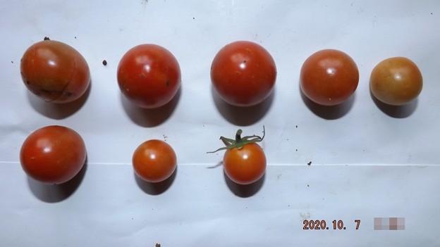 2020/10/07(水)・畑のミニトマト・8個収穫