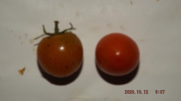 2020/10/12(月)・畑のミニトマト・2個収穫