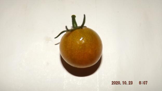 Photos: 2020/10/23(金)・畑のミニトマト・1個収穫