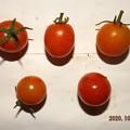 2020/10/26(月)・畑のミニトマト・5個収穫