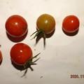 Photos: 2020/11/03(火・祝)・畑のミニトマト・7個収穫
