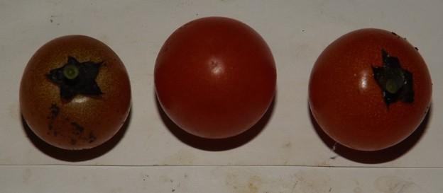 2020/11/08(日)・畑のミニトマト・3個収穫