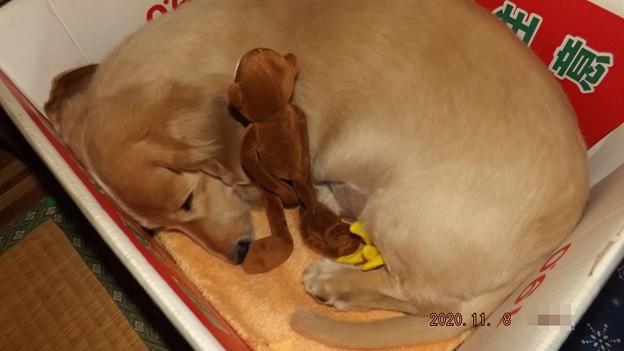 2020/11/08(日)・おもちゃのお猿さんが寝かしつけてるよ
