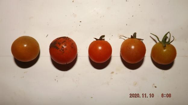 Photos: 2020/11/10(火)・畑のミニトマト・5個収穫