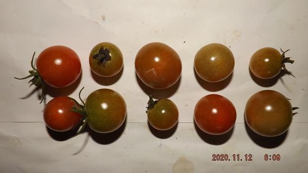 2020/11/12(木)・畑のミニトマト・10個収穫