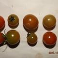 Photos: 2020/11/12(木)・畑のミニトマト・10個収穫