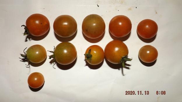 2020/11/13(金)・畑のミニトマト