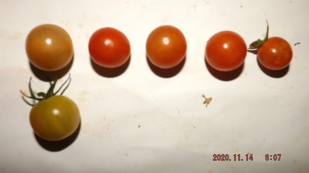 2020/11/14(土)・畑のミニトマト・6個収穫