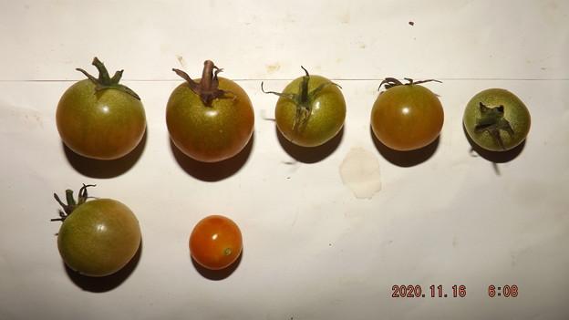 2020/11/16(月)・畑のミニトマト・7個収穫