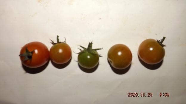 Photos: 2020/11/20(金)・畑のミニトマト・5個収穫