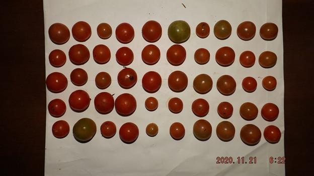 2020/11/21(土)・畑のミニトマト50個収穫