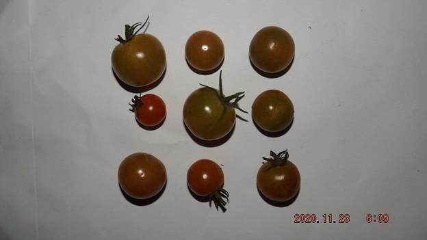 2020/11/23(月・祝)・畑のミニトマト・9個収穫