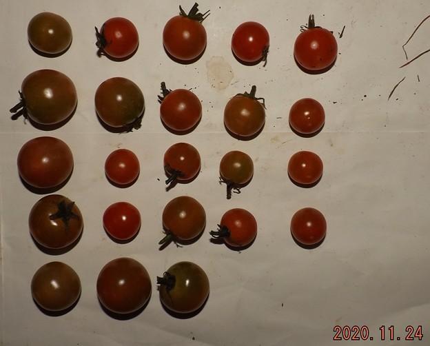 2020/11/24(火)・畑のミニトマト・23個収穫