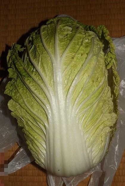 Photos: 2020/11/24(火)・ご近所様から頂いた白菜