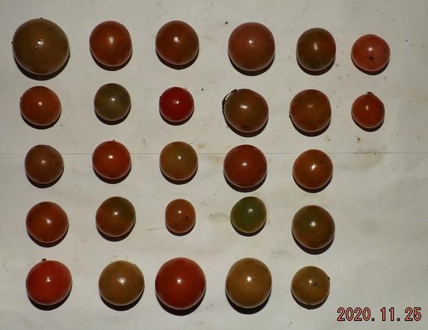 2020/11/25(水)・畑のミニトマト・27個収穫