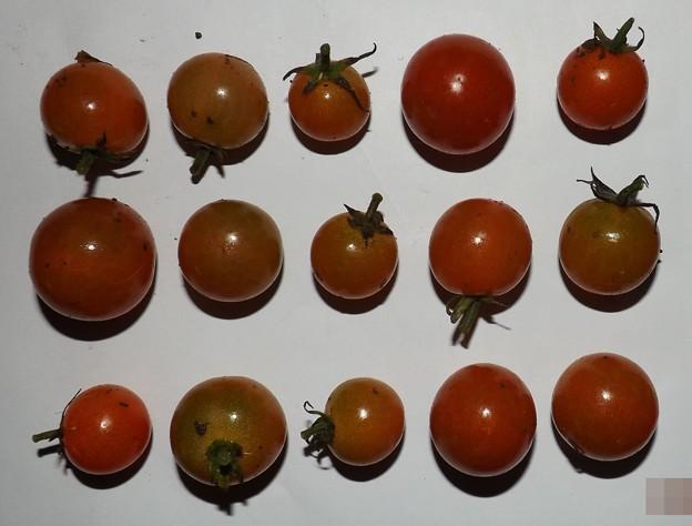 2020/11/26(木)・畑のミニトマト・15個収穫