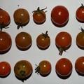 Photos: 2020/11/26(木)・畑のミニトマト・15個収穫
