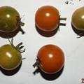 Photos: 2020/11/27(金)・畑のミニトマト・8個収穫