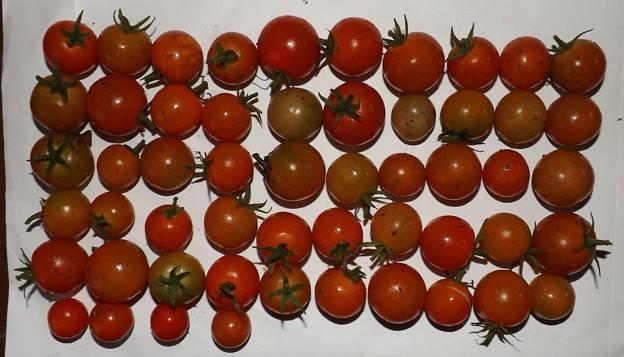 2020/11/28(土)・畑のミニトマト・54個収穫