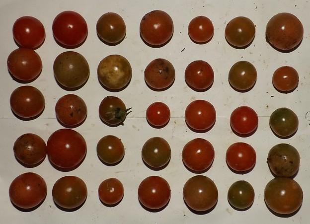 2020/11/29(日)・畑のミニトマト・35個収穫