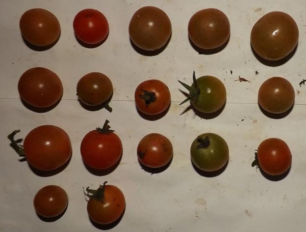 2020/11/30(月)・畑のミニトマト・17個収穫