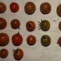 Photos: 2020/11/30(月)・畑のミニトマト・17個収穫