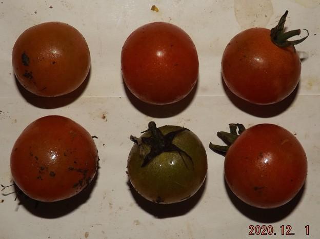 2020/12/01(火)・畑のミニトマト・6個収穫