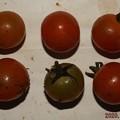 Photos: 2020/12/01(火)・畑のミニトマト・6個収穫