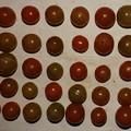 2020/12/02(水)・畑のミニトマト・40個収穫