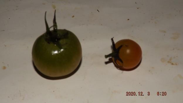 2020/12/03(木)・畑のミニトマト・2個収穫