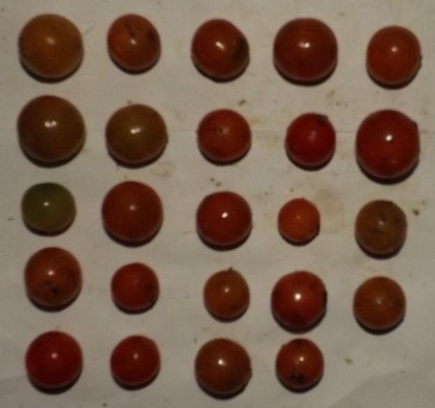 2020/12/05(土)・畑のミニトマト・24個収穫