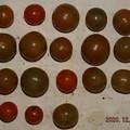 2020/12/06(日)・畑のミニトマト・18個収穫