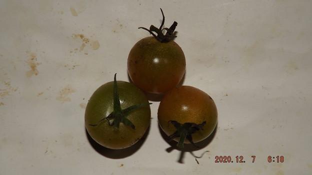 2020/12/07(月)・畑のミニトマト・3個収穫
