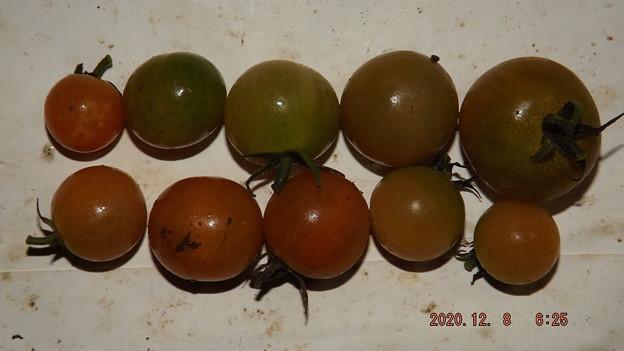 Photos: 2020/12/08(火)・畑のミニトマト・10個収穫